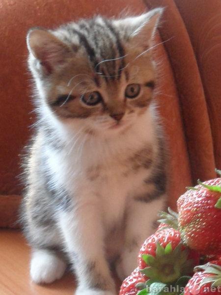 Продам Очаровательные шотландские котята.