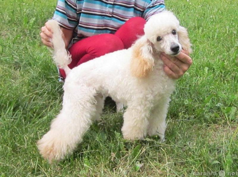 Продам щенка миниатюрного пуделя белого окраса