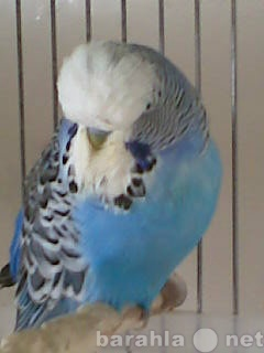 Продам Выставочные волнистые попугаи
