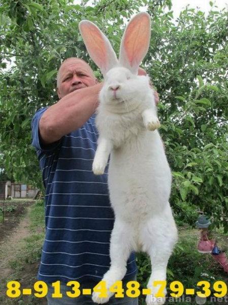 Продам Кролики в Красноярске, в Саяногорске, в