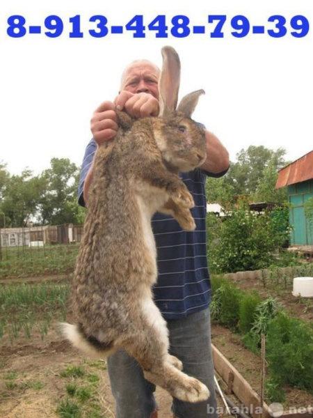Продам: Кролики бельгийский фландр Абакан