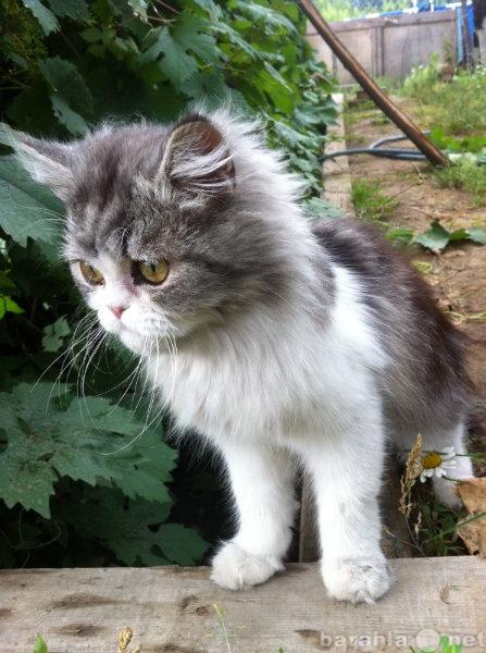 Отдам даром Персидский котенок