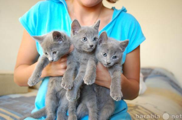 Продам РУССКИХ ГОЛУБЫХ котят