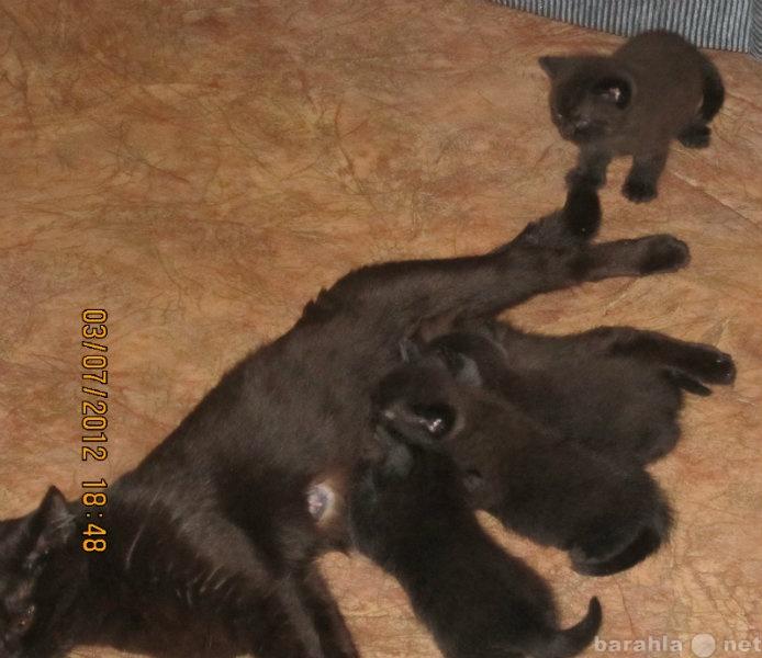 Продам продам британских котят темный шоколад