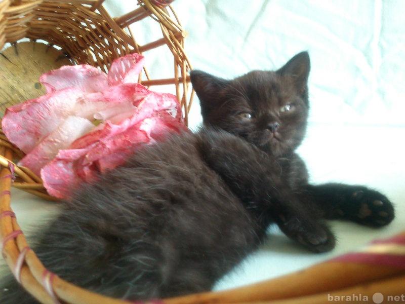 Продам Британские котята-шоколадный мрамор