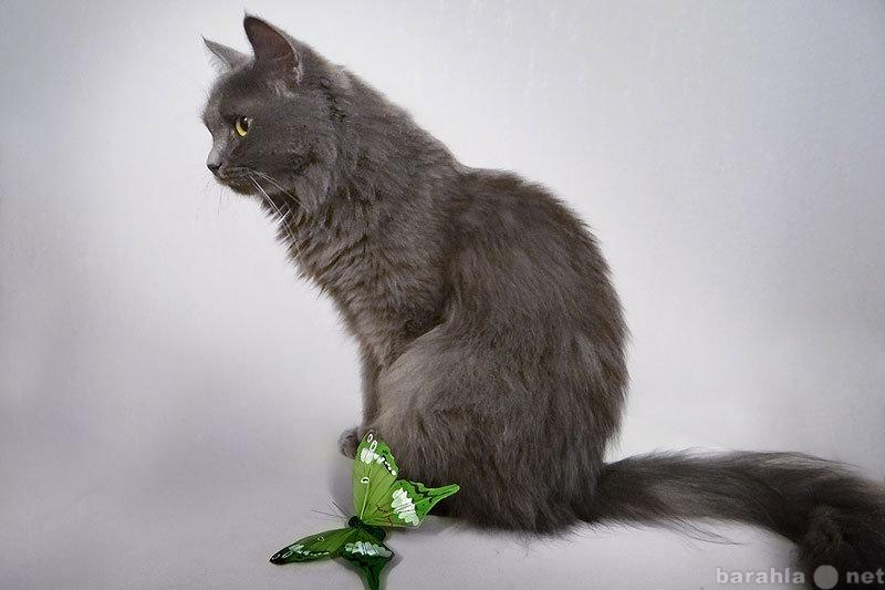 Отдам даром Таис - Дымчатая кошка. Отдам