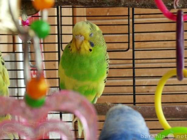 Продам 2 взрослые самки волнистых попугаев