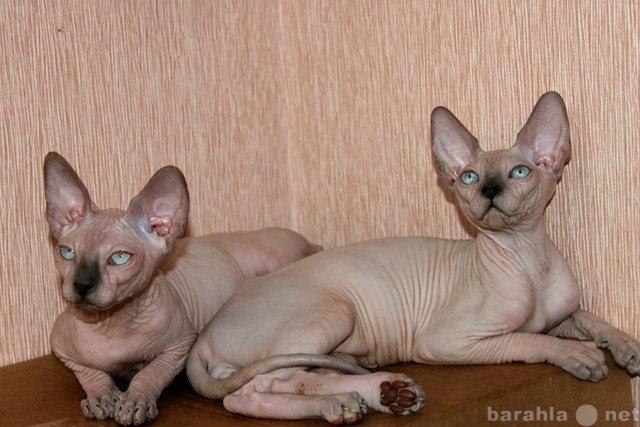 Продам Канадский сфинкс,голые котятки!