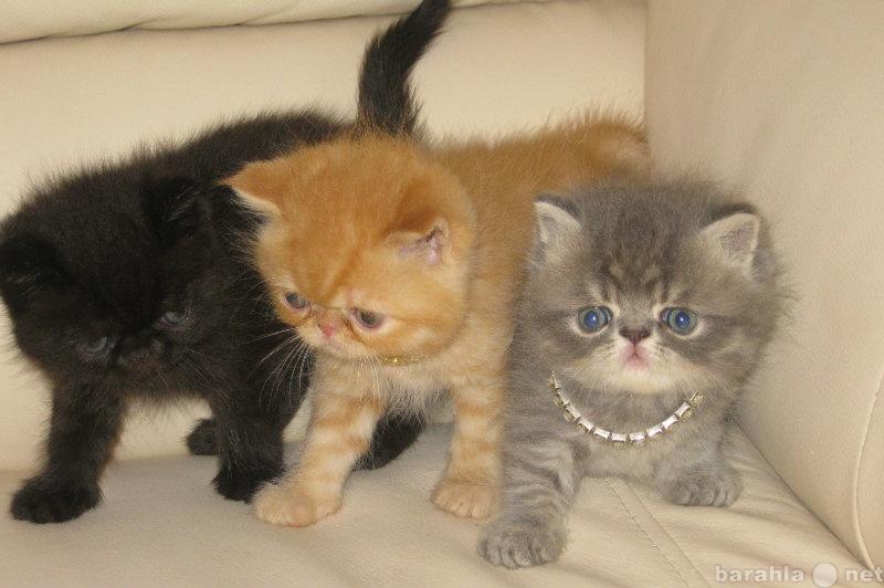 Продам экзотические котята