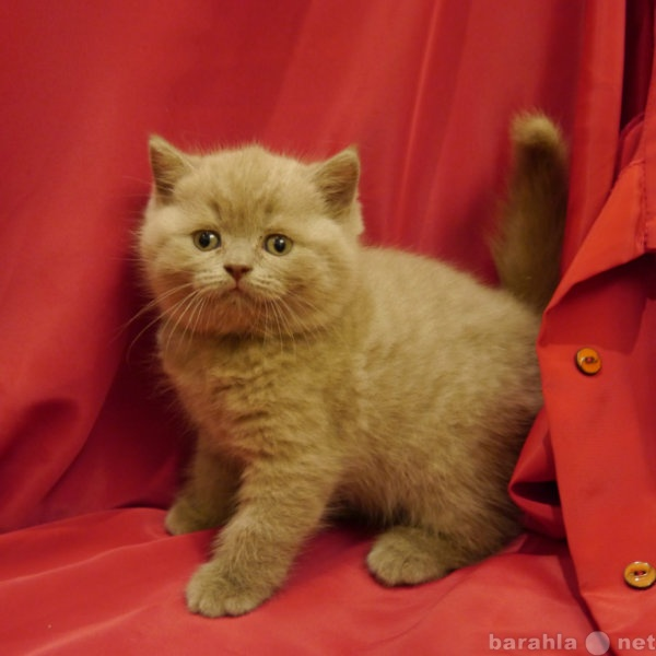 Продам Британские котята от ИнтерЧемпиона