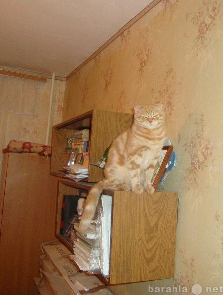 Отдам даром кошка Шотландская вислоухая
