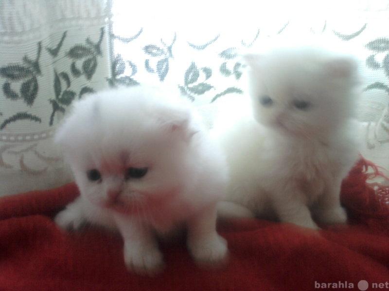 Продам персидский котята