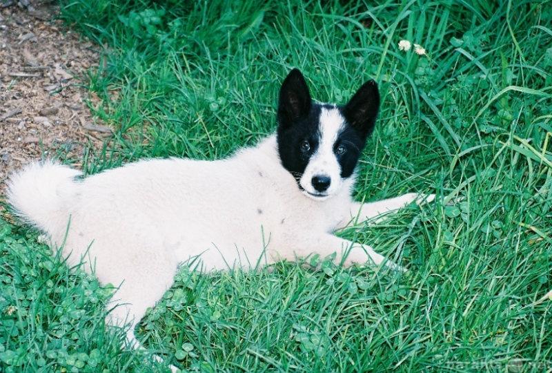 Продам щенки восточно-сибирской лайки