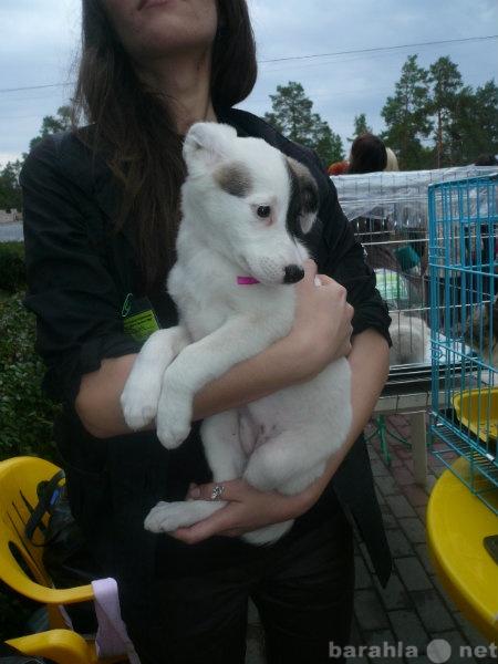 Отдам даром Белый щенок в добрые ручки