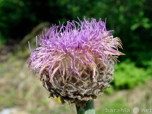 Продам Левзея сафлоровидная. Семена и корни