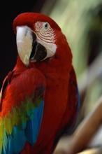 Приму в дар попугая ара жако или какаду