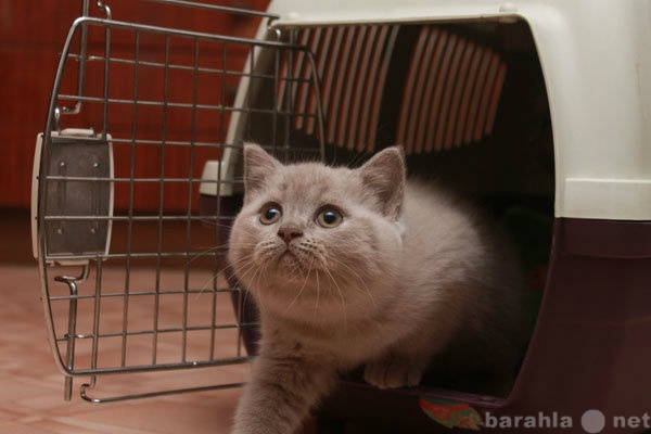 Продам Британский котенок с родословной