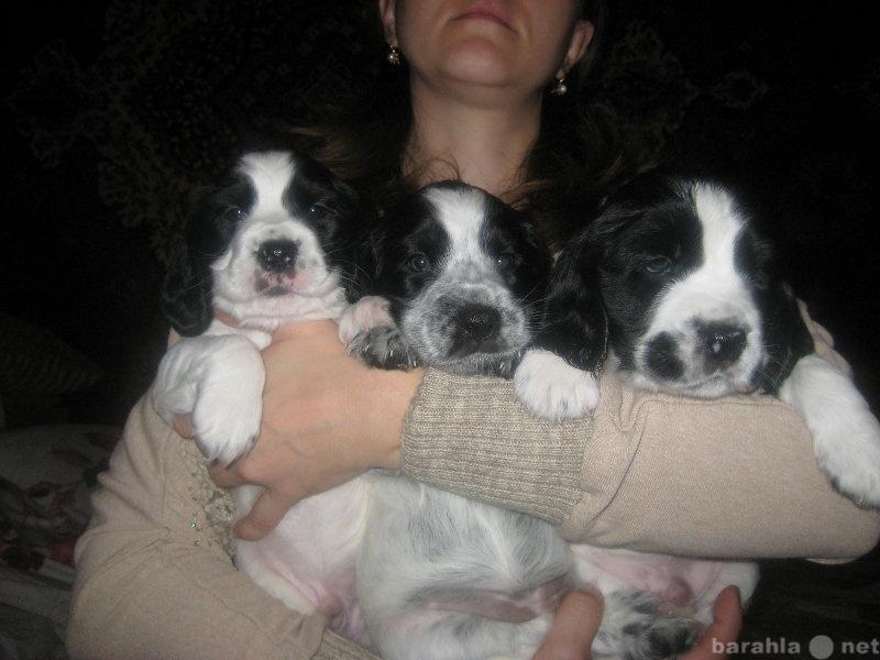 Продам очаровательные щенки русского спаниеля
