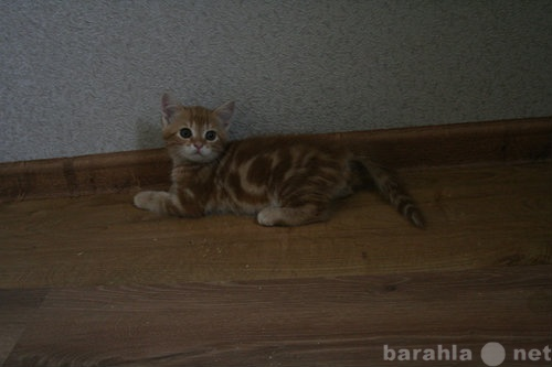 Продам Британский солнечный котенок