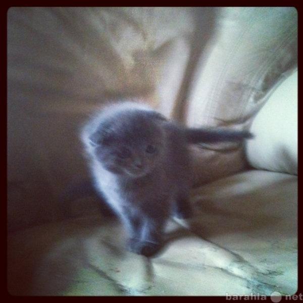 Продам котята Ткоттиш-фолд