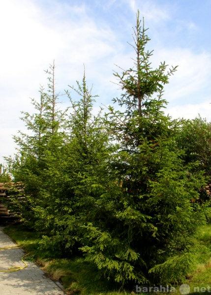 Продам Крупномерные деревья