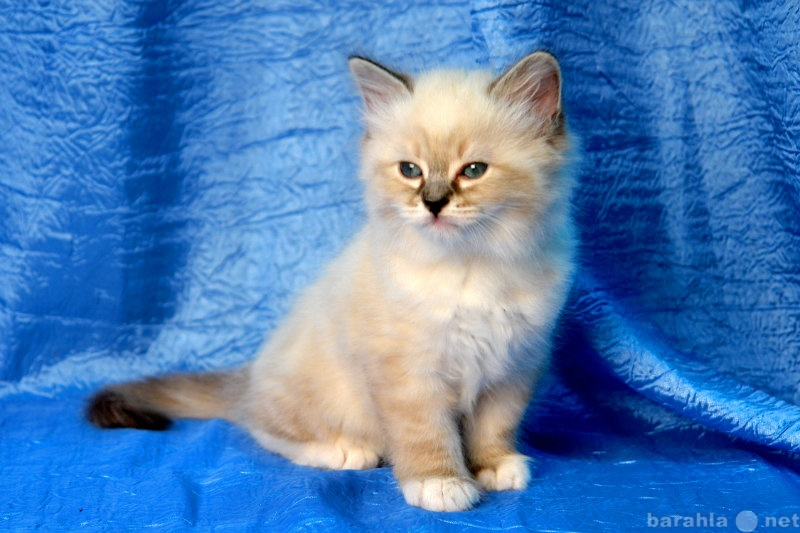Продам Невские маскарадные котята