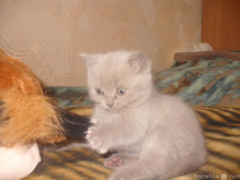 Продам продам британского котёнка
