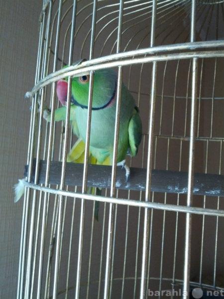 Продам Продам Ожерелового попугая