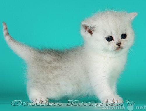 Продам Британские шиншиллы-кошки песцы