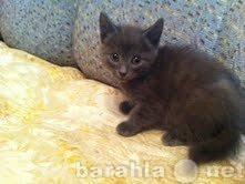 Продам котенка по имени Дымок