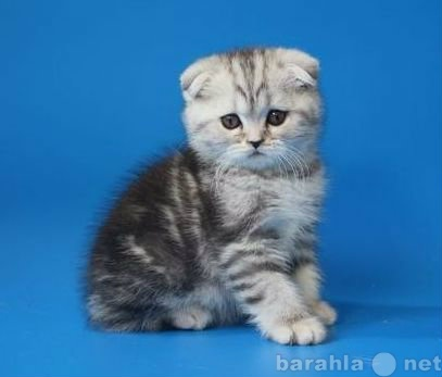 Продам: Вислоухие и прямоухие серебристые котята