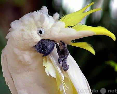 Продам: Говорящий ручной какаду желтохохлый.