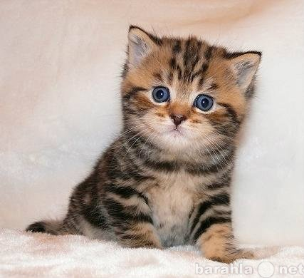 Куплю: Котенка (девочку)