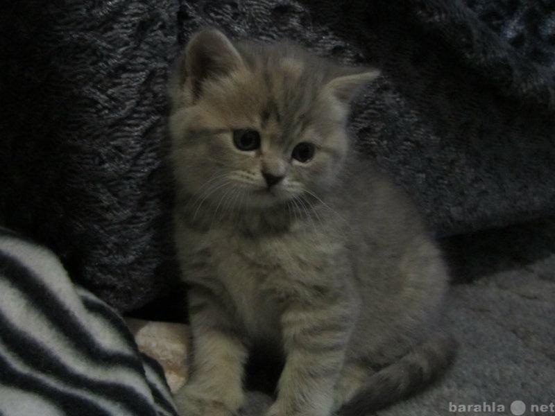 Продам британские котятки