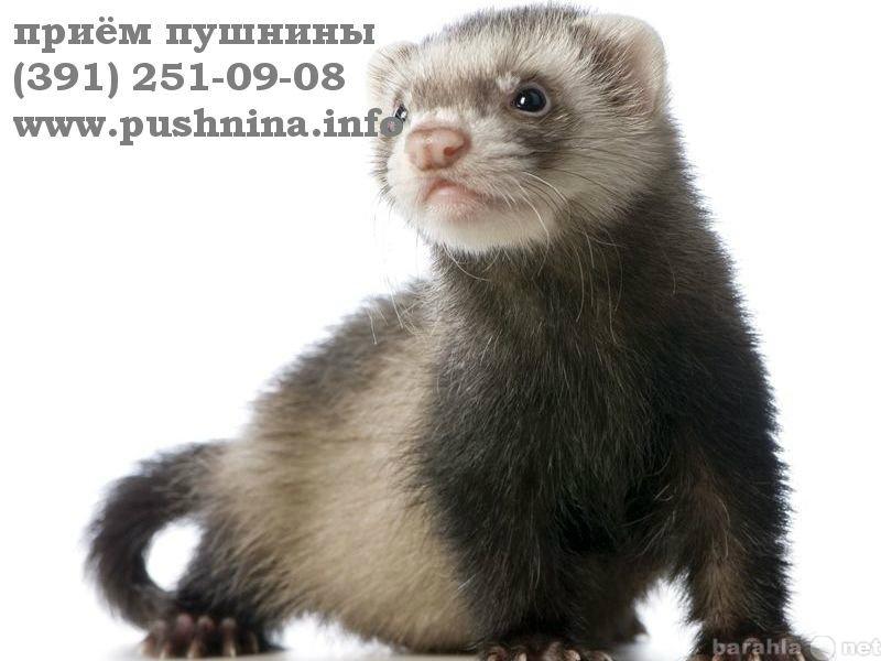 Куплю: Сдать шкурку соболя Красноярск