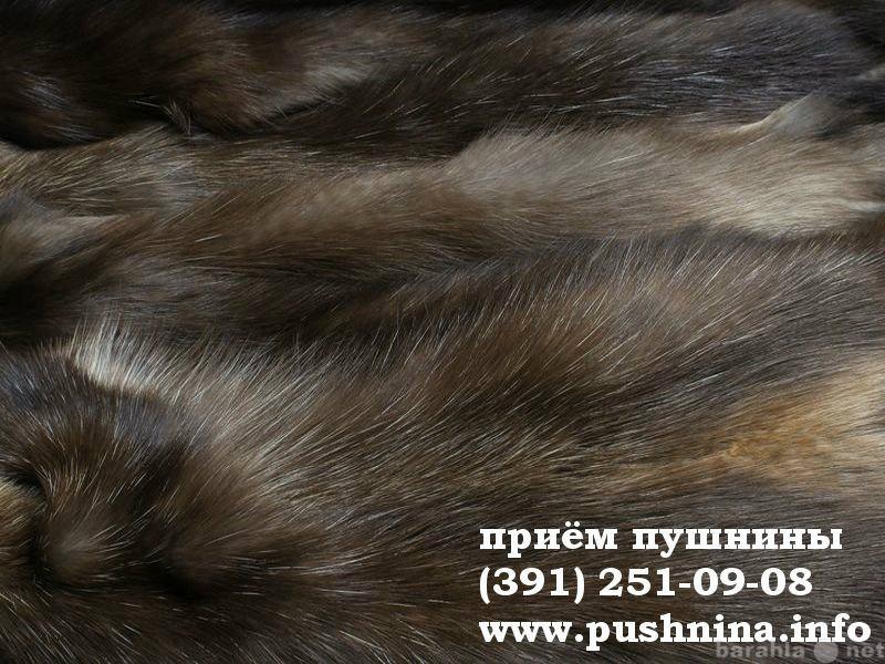 Куплю: Сдать шкуру соболя в Красноярске