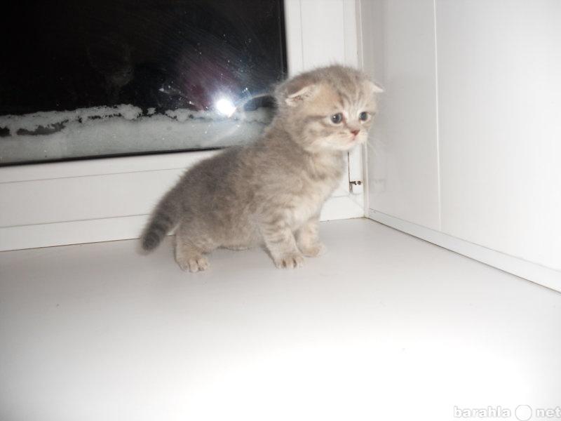 Продам шотландский вислоухий котенок