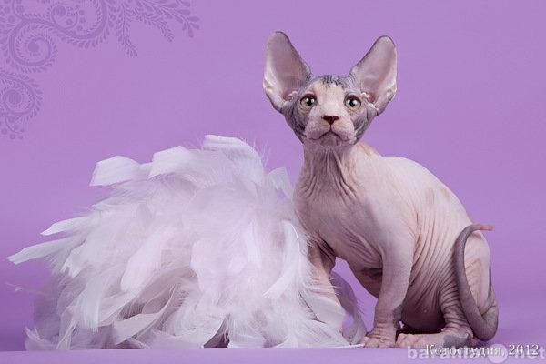 Продам Котята породы канадский сфинкс.