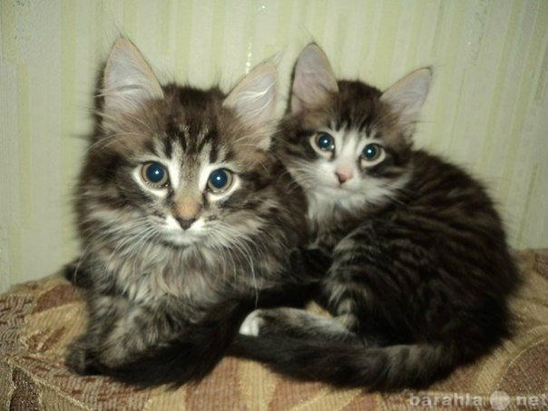 Отдам даром: Отдам в добрые руки двух котят