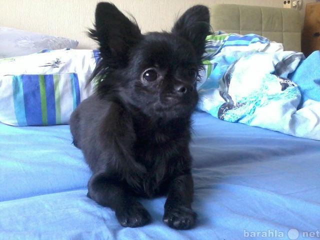 Продам Маленький черный щенок