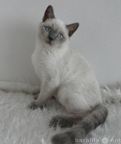 Продам шотландский котик