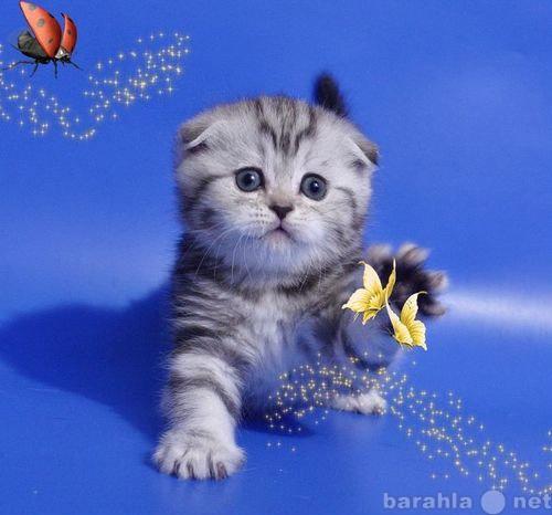 Продам: Шотландские вислоухие котята