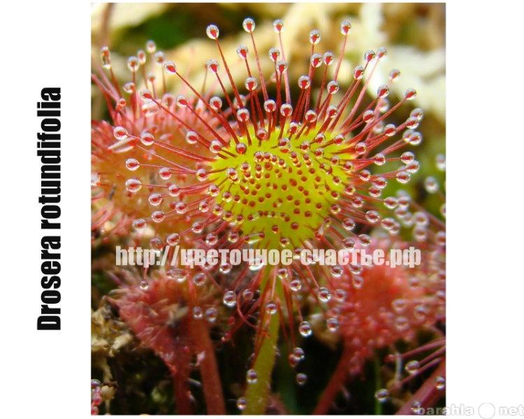 Продам: Семена Насекомоядных растений /в регион