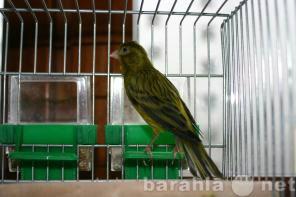 Продам: Кенар. Певчие птицы