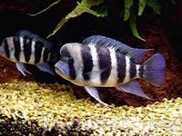 Продам аквариумные рыбки фронтоза