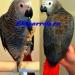 Продам Жако  - ручные птенцы из питом. ФРГ