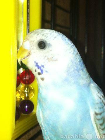 Продам Пара волнистых попугаев