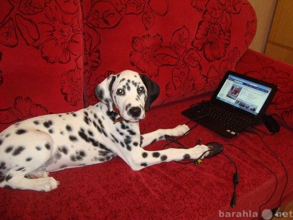 Продам Подрощенный щенок далматина