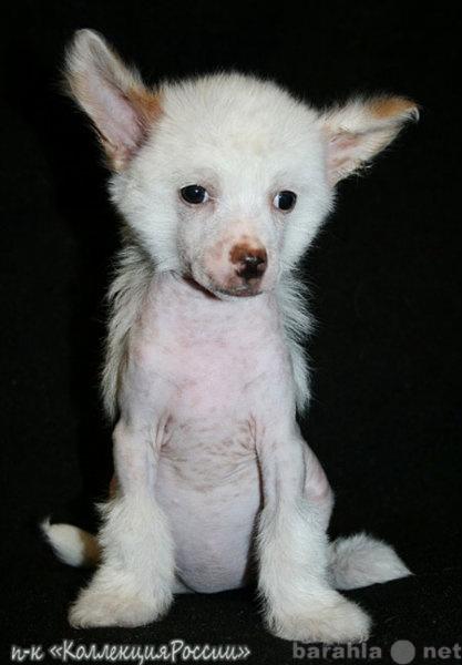 Продам Китайской хохлатой соб.щенки,голые,пухов