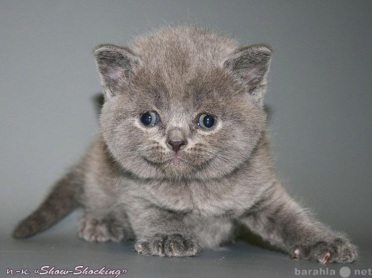 Продам Британские котята,окр.голубой,шоколад.